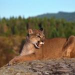 cougar-150x150